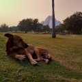 Dog in front of the Lotus Temple in Delhi
